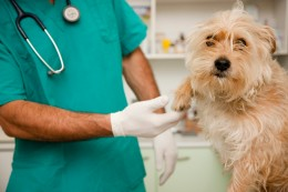 Close up of vet  inspecting dog  paw  1 person Caucasian Julian Winslow Whites ability animal animal doctor canine check-up checking close up close-up close-up view companion animals creature creatures cropped cute daylight dog doggie doggy domesticated animals examination examining expert eye contact fluffy gloves half length hand hands headless health healthiness holding individual inside inspecting inspection interior lab coat looking at camera looking over male male only man man's best friend masculine medical supplies men occupation one person one person only paw people person pet pets professional rubber gloves scrutiny single skill stethoscope surgeon surgical gloves technician uniform vet vet technician veterinarian veterinary medicine working zoology